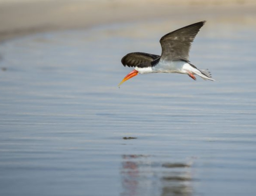 The African Skimmer, a bird endemic to the Chobe River