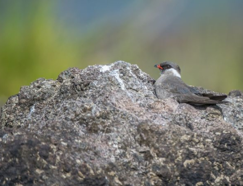 Up close with the Rock Pratincole